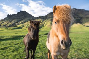 Facts about the Icelandic horse